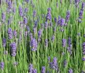 GGF_Lavender_StephWenderski