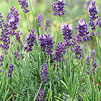 Lavender: Cultivation, Crafts, and Cooking | Sangha News - San ...