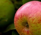 GGF_garden apple_ClaudiaHennum-600px