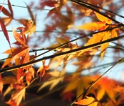 maple_sun_and_branches600px