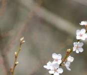 cherryblossoms_600px