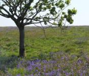 Cadsonbury-top-oak-2_shundo_x600