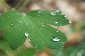 DSC08298-Water-Drops-on-Leaves-Valerie-Boquet-2013-crop
