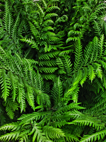 IMG_5574-Lush-Fern-David-Silva-crop