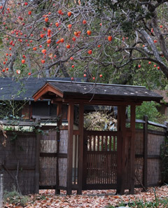 Persimmons over pool gate (Photo: Shundo David Haye)