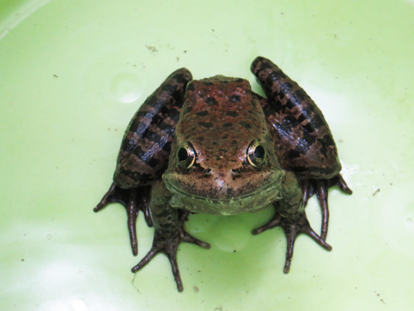 GGF Creek red-legged frog 1