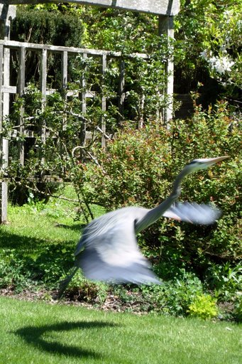Heron in flight (photo: Tova Green)