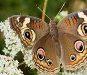 tass butterfly