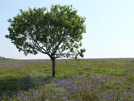 Cadsonbury-top-oak-2_shundo_x450
