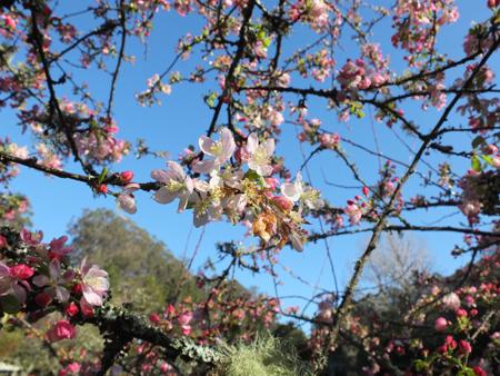 Shundo  Spring Blossom 450 pixel side