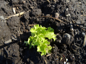 dsc00145_lettucestart