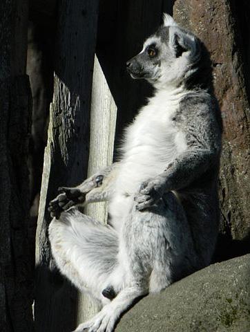 Lemur in meditative pose