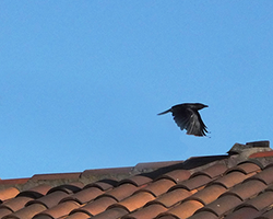 Crow Flies by Shundo David Haye crop2