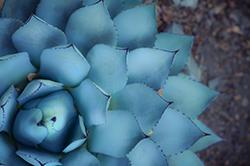 Succulent at Tassajara Zen Mountain Center by Asya Tabdili