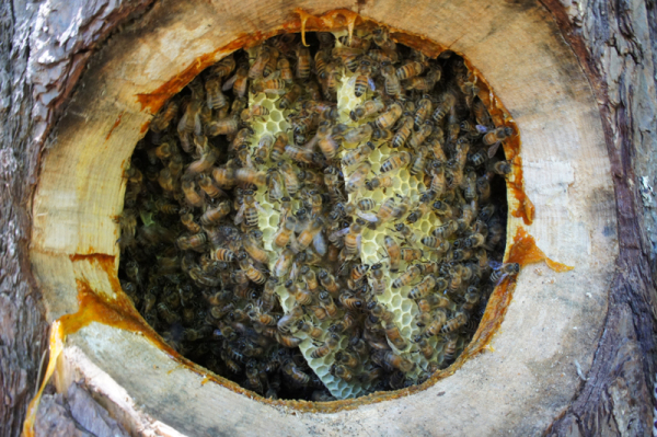 From Michael's own apiary�an example of what a log hive may look like when active.