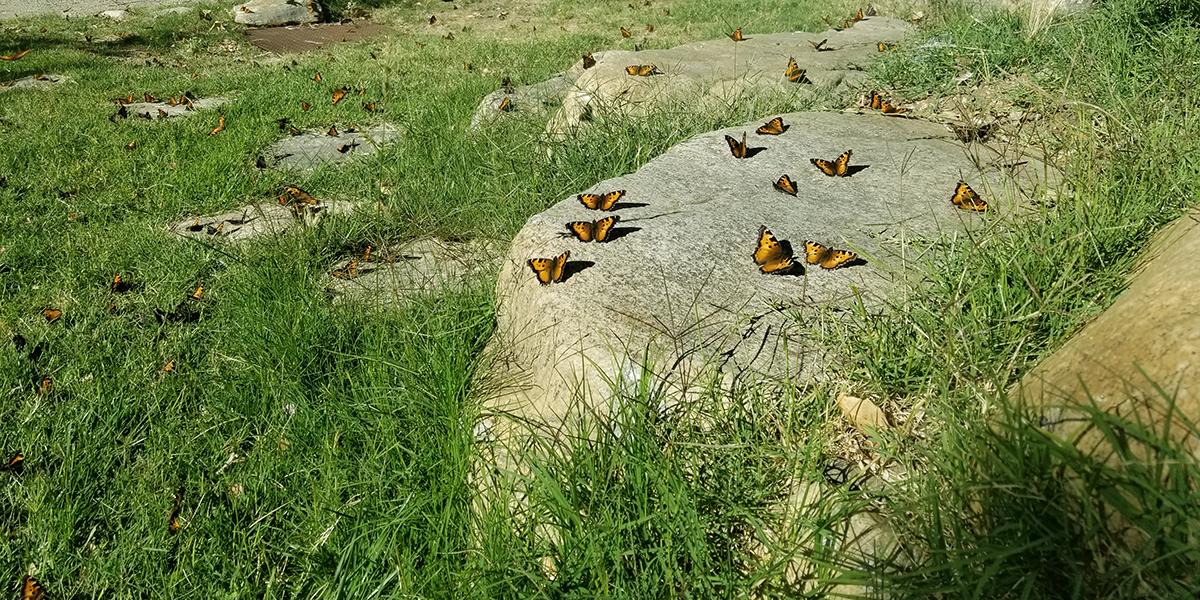 California Tortoiseshell Migration at Tassajara