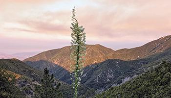 Spanish bayonet-yucca plant